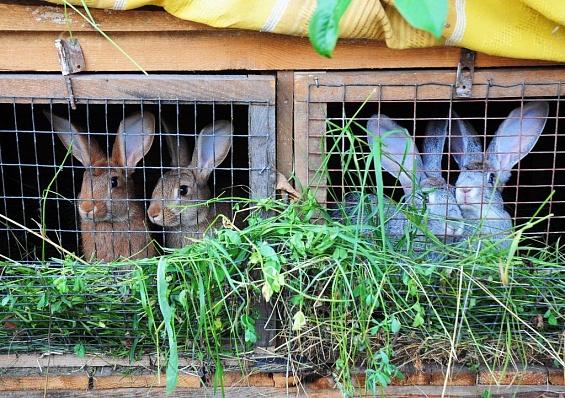Ярославские фермеры предложили покупателям следить за выращиванием животных онлайн