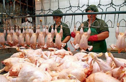 Мясо будущей курицы