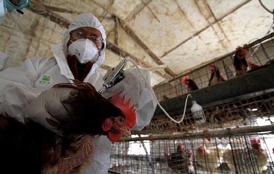 Руководство  Чувашии подозревает птицекомбинат изПавловского района враспространении птичьего гриппа