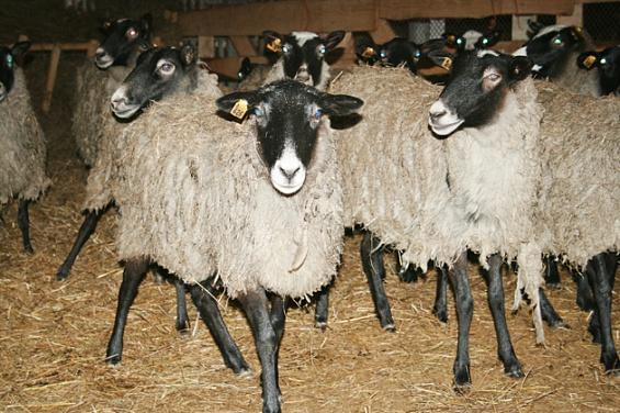 Новая овцеводческая ферма Ленобласти будет производить 20 тонн мяса в год