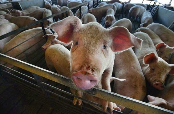Хабаровское предприятие «Агроэнерго», где погибли десятки тыс. свиней, будет устранено