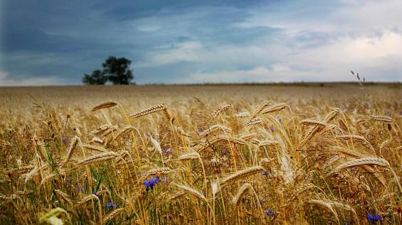 Сибирские ученые вывели новые сорта пшеницы и ржи